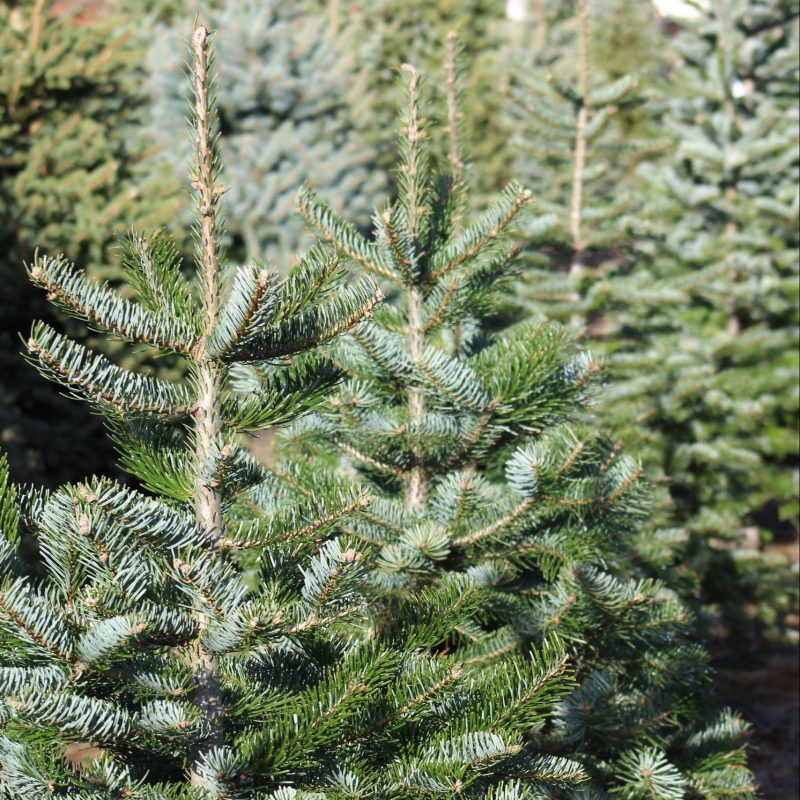 are real or fake christmas trees better for the environment